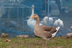 Gray and white goose in and out fram in thailand. Green, grass, nature, bird, background, farm, summer, beautiful, domestic, grey, poultry, natural, spring stock photo