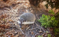 Gray and White Hedgehog on Brown Leafs Photography Stock Images