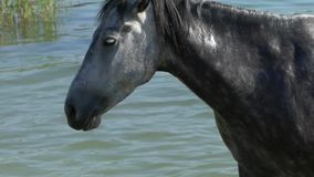 Gray And White Horse Shakes su Mane While Standing negro en un lago en el Slo-MES almacen de video