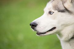 A gray and white husky dog on a background of green grass blurred. A portrait of a gray and white husky dog on a background of green grass blurred Stock Photos