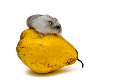 A gray and white Jungar hamster on yellow pear. Isolated stock photography