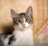 Gray and white kitten. Small striped kitten sitting curious Royalty Free Stock Images