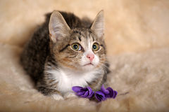 Gray and white kitten. Small striped kitten sitting curious Stock Photos