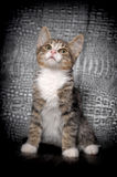 Gray and white kitten. Small striped kitten sitting curious Stock Images