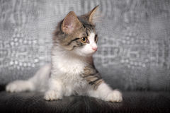 Gray and white kitten. Small striped kitten sitting curious Royalty Free Stock Photography