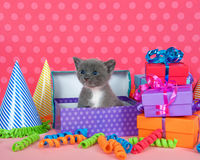 Gray and white kitten in birthday box with presents and party ha Stock Photography