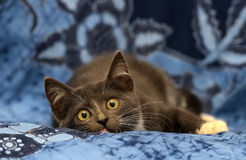 Gray and white kitten Stock Images