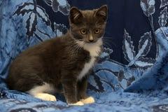 Gray and white kitten Stock Photos