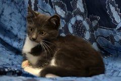 Gray and white kitten Stock Photo