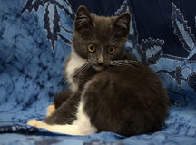 Gray and white kitten Royalty Free Stock Photography