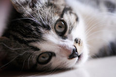 Gray and White Kitten. Laying on her side and looking at camera Royalty Free Stock Photography