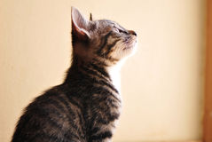 Gray and White Kitten. Siting and Look up Royalty Free Stock Photos