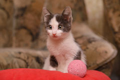 Gray white kitten sitting on a red cushion with a ball. Gray white kitten sitting on a red cushion in the house with a ball Royalty Free Stock Photography