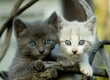 Gray and White Kittens Royalty Free Stock Image