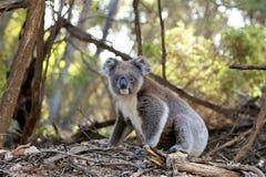 Gray and White Koala Bear Near Trees stock photography