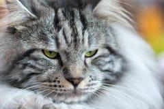Gray-white Kurilian Bobtail cat Stock Image