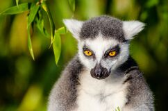 Gray and White Lemur Stock Photo
