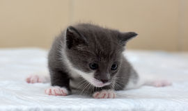 Gray and white little kitty Stock Photos