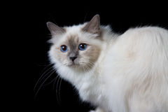 Gray white longhair cat with blue eyes Stock Image