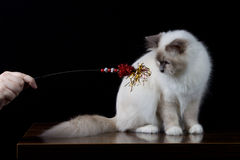 Gray white longhair cat playing Royalty Free Stock Images