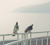 Gray and white pigeons watching over background of blue sea, Caucasian mountains. Gray and white pigeon watching over background of blue sea and Caucasian Stock Image