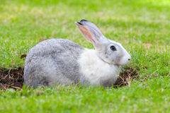 Gray and white rabbit digs a hole on green grass. Meadow Stock Photos