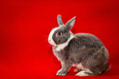 Gray and white rabbit Stock Photos