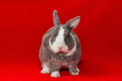 Gray and white rabbit Stock Photo