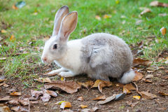 Gray and white rabbit sitting on grass Stock Photos