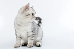 Gray white Scottish kitten looking aside Royalty Free Stock Image