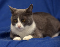 Gray and white shorthair cat. On a blue background Royalty Free Stock Image