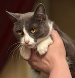 Gray and white shorthair cat Stock Image
