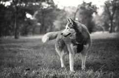 Gray and White Siberian Husky in Grayscale Royalty Free Stock Photos