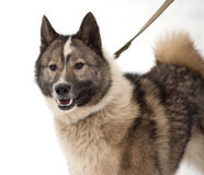 Gray and white Siberian Laika on snow Royalty Free Stock Photo