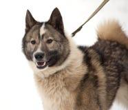 Gray and white Siberian Laika on snow Royalty Free Stock Photo