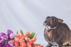 Gray and white bunny rabbit against soft background and tulip flowers in vintage setting. Gray and white small pet Easter bunny rabbit against soft background royalty free stock photos