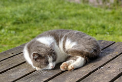 The gray-white spotty cat sleeps on a wooden table Royalty Free Stock Photo