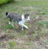 Gray and white striped cat prowling in garden Stock Photo