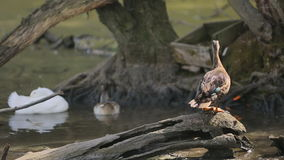 Gray and White Striped Wild Duck in Zoo stock footage