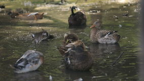 Gray and White Striped Wild Ducks swimming in the pond in Zoo stock footage