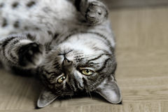 Gray and white tabby cat Royalty Free Stock Images