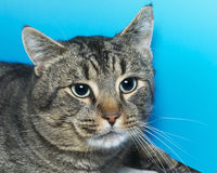 Gray and white tabby cat with green eyes, portrait. On blue textured background Royalty Free Stock Photos