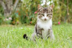 Gray and white tabby cat on green grass. Outdoor in nature. Shallow depth of field portrait Stock Photography