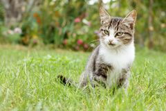 Gray and white tabby cat on green grass. Outdoor in nature. Shallow depth of field portrait Royalty Free Stock Image