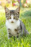Gray and white tabby cat on green grass. Outdoor in nature. Shallow depth of field portrait Royalty Free Stock Photography