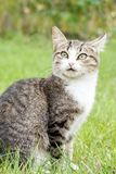 Gray and white tabby cat on green grass. Gray and white tabby cat with surprised look on green grass outdoor in nature. Shallow depth of field portrait Stock Photo