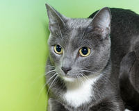 Gray and white tabby on green and yellow background. Gray and white short hair cat with yellow green eyes looking to the side portrait with textured green and Royalty Free Stock Photos