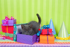Gray and white tabby kitten in birthday boxes Stock Image