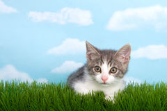 Gray and white tabby kitten in grass. Gray and white tabby kitten laying in green grass wtih blue background white clouds Stock Photos
