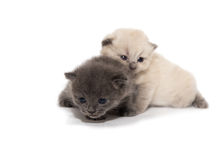 Gray and white two little kitten Stock Images